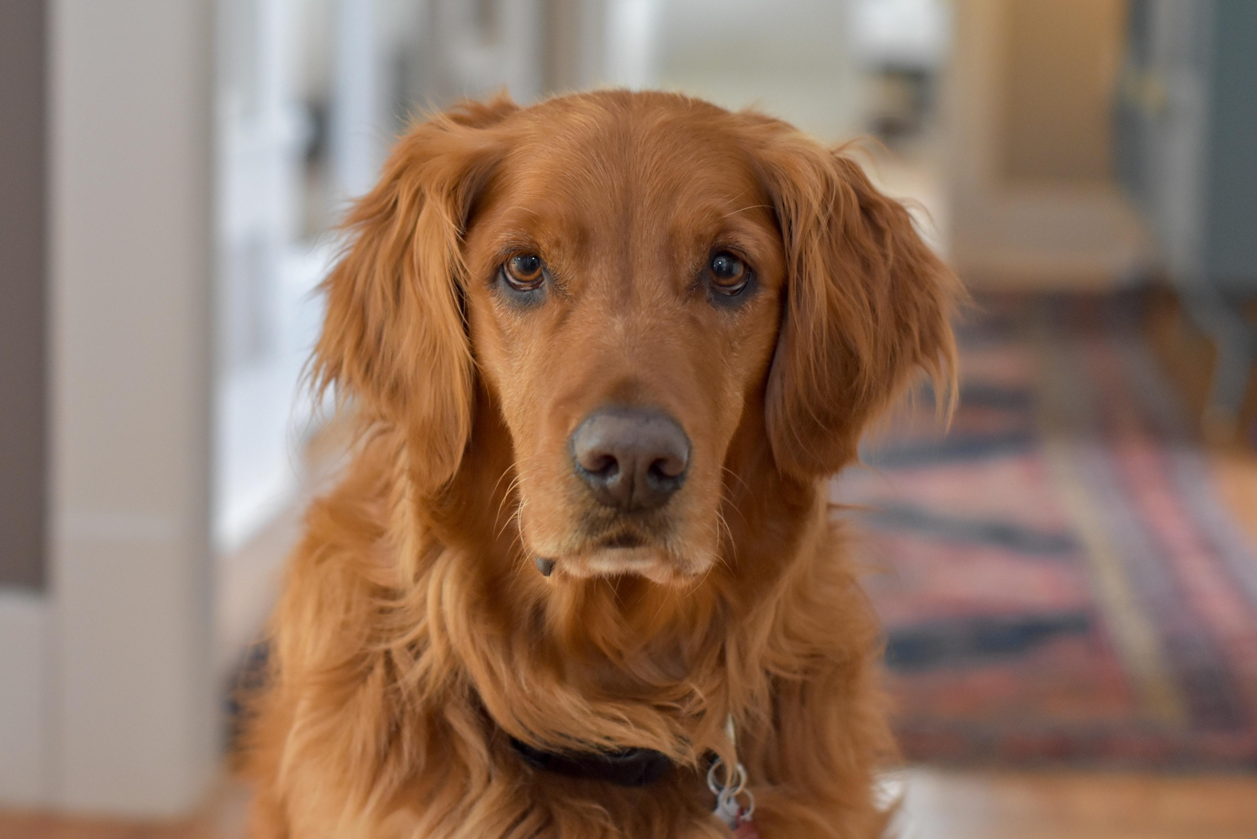 犬の食性に合わせた「キアオラ」は安心安全なニュージーランド産ドッグフード